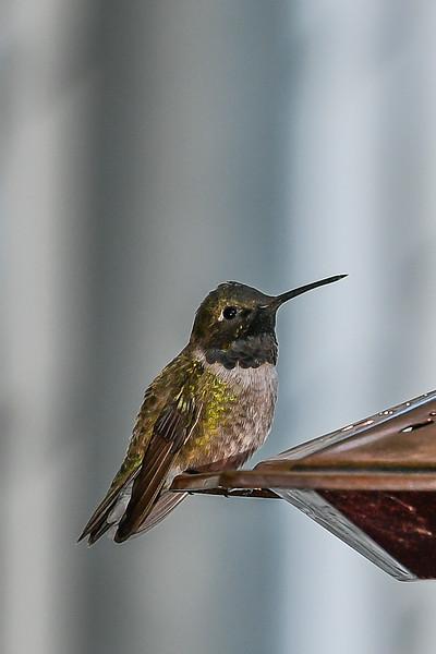 21MayHummingbirds (50 of 53).jpg