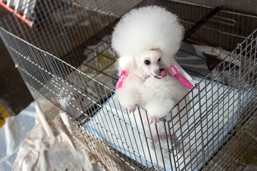 Description of . Angel, a two-year-old toy poodle, leans against her cage during the 137th Westminster Kennel Club Dog Show in New York, February 11, 2013. More than 2,700 prized dogs will be on display at the annual canine competition. Two new breeds, the Russell terrier and the Treeing Walker coonhound, will be introduced in the contest. REUTERS/Keith Bedford