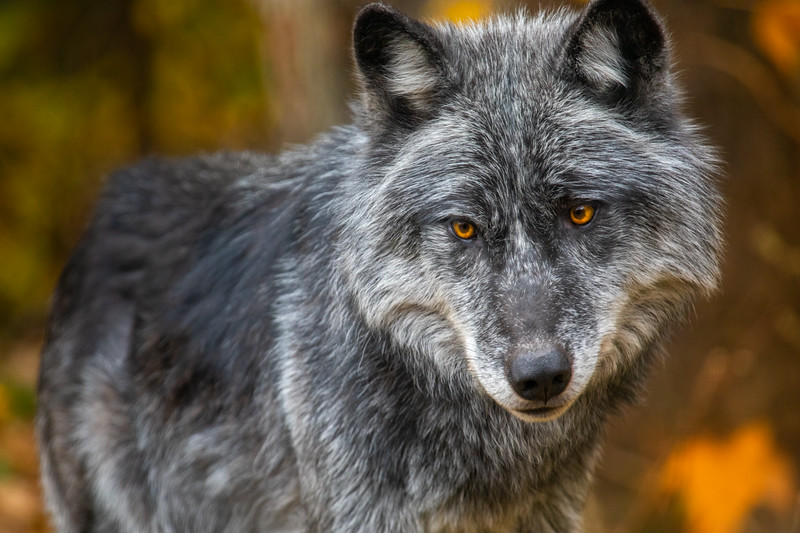 Wolf Onyx Haliburton Forest.jpg
