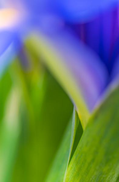BLUE IRIS   19