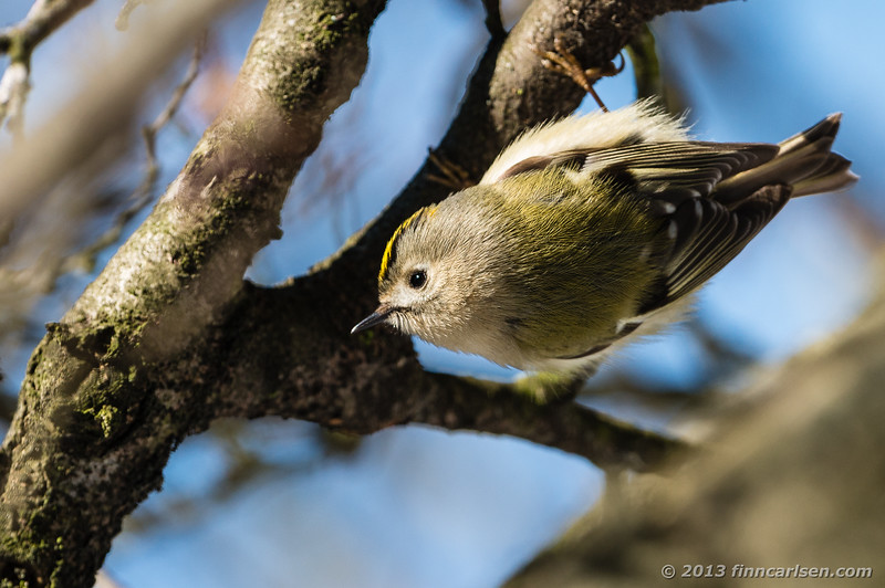 Fuglekonge (Regulus regulus - Goldcrest)