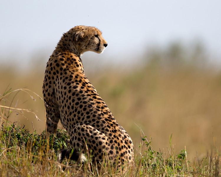 AF1T7856_cheetah.jpg