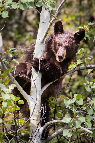 Mum, Can Bears Climb Trees?