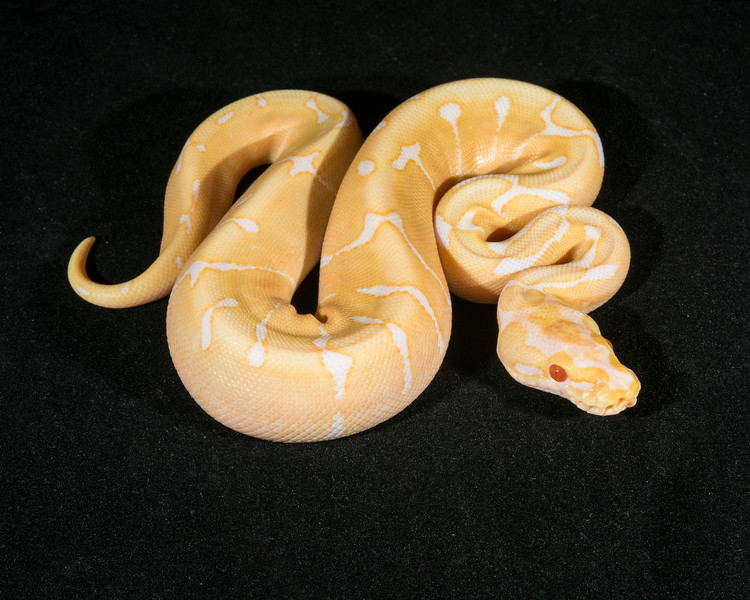 Albino Spider M0814, sold Charles C.