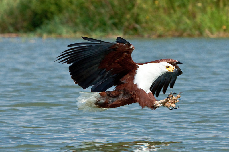 African Fish Eagle; September 1, 2012; Lake Baringo, Kenya