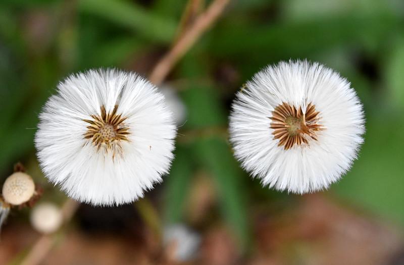 Dandelionrelativejacksonbog.jpg