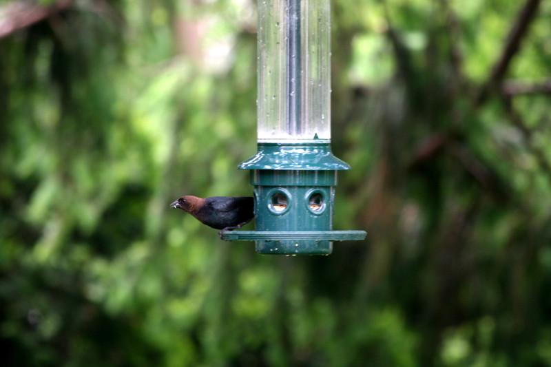 Brown-headed Cowbird [male]