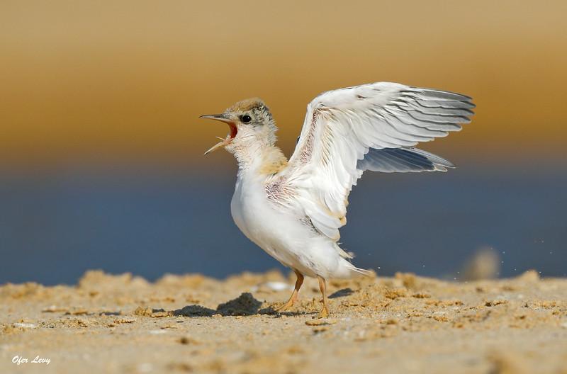 Little Tern chick calling MASTER.jpg