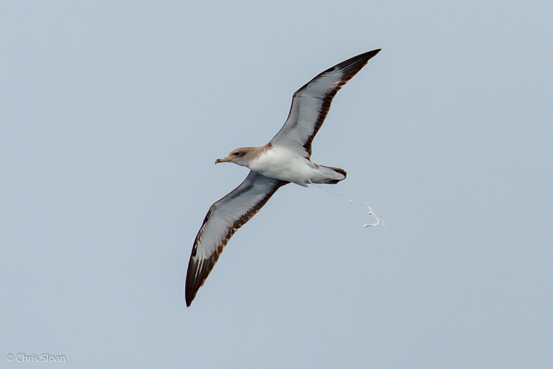 Cory's Shearwater at Gulf Stream off Hatteras, NC (08-09-2014) 033-18.jpg