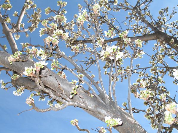 Folsom Blossoms