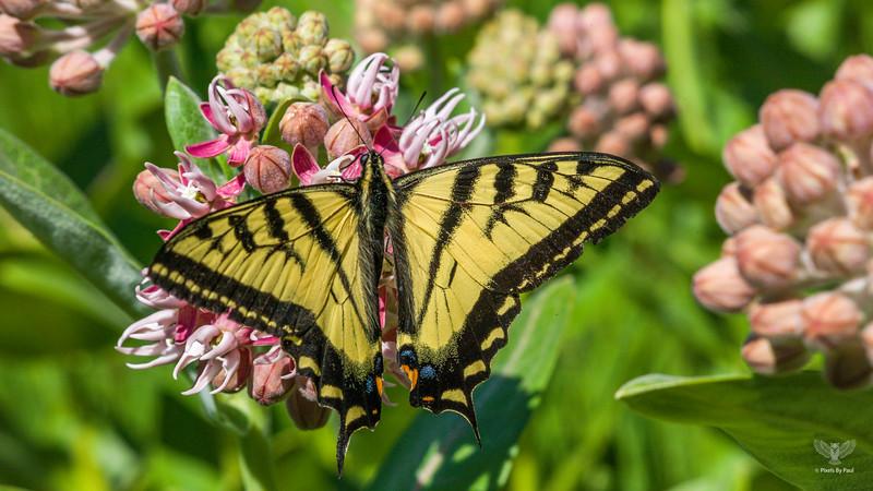 Roxy Butterfly 079 16x9.jpg