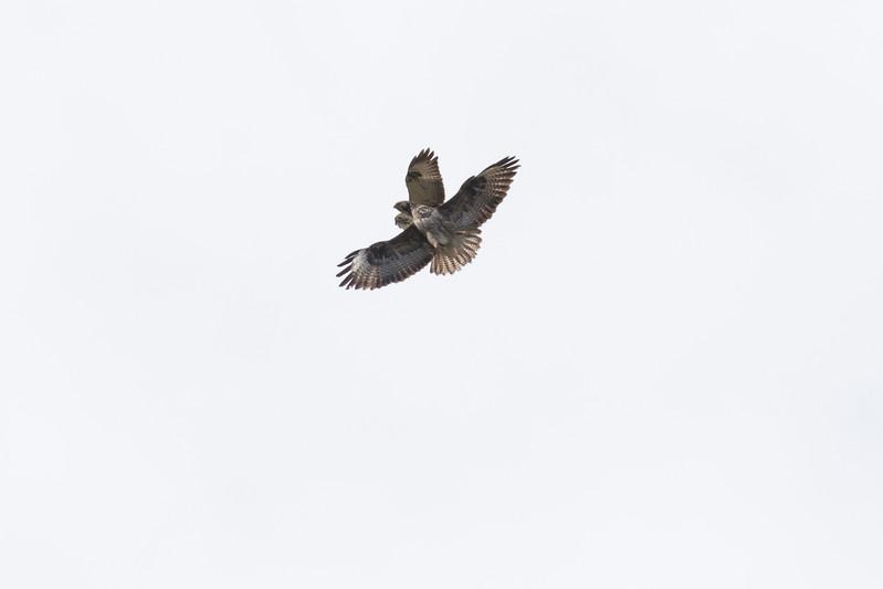 buizerd, common buzzard wespendief, honey buzzard