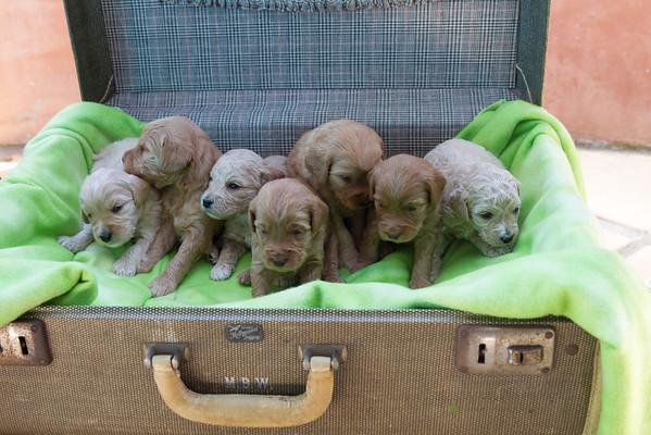 Stella Puppies - 3 weeks