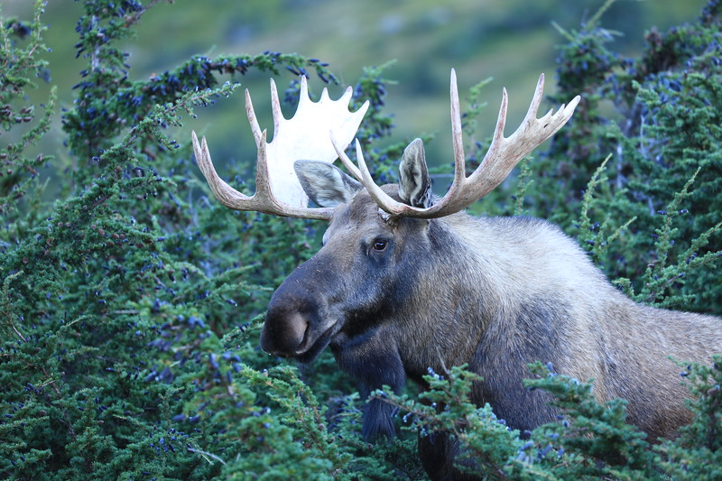Mature bull moose in the jumipers