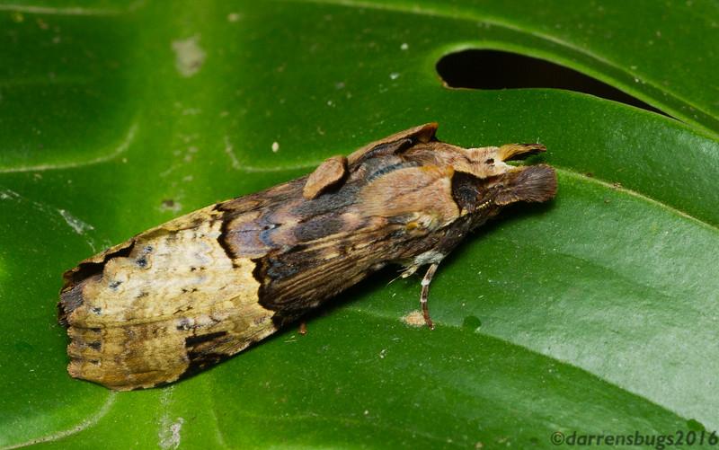 Wood-mimicking moth (Notodontidae: genus Nystalea) from Monteverde, Costa Rica.