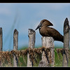 Hammerkop, Maun, Botswana, 2010