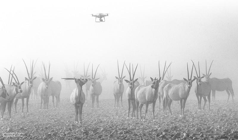 Arabian Oryx (41)- B&W.jpg