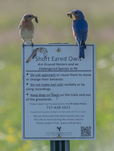 Bluebirds Perching on a Sign