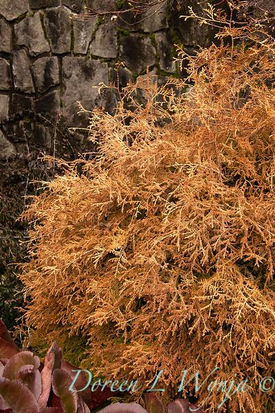 Thuja occidentalis 'Congabe' Fire Chief winter landscape_538.jpg