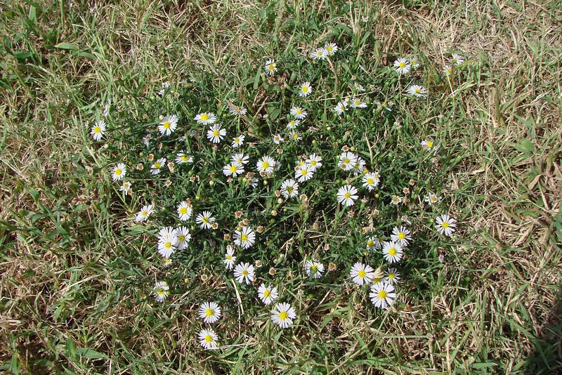 Aster subulatus / Annual Aster (annual, Texas native) 10/2/07