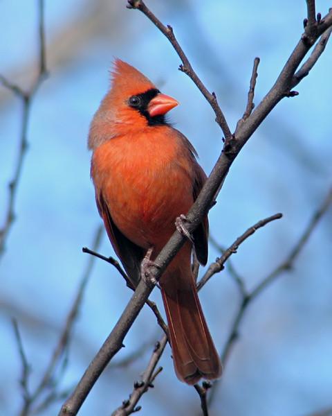 cardinal_1209.jpg