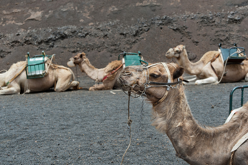 Camels at Timanfaya National Park in Lanzarote, Spain