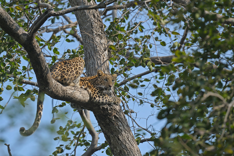 Leopard sitting on a tree in Ranthambhore national park, India