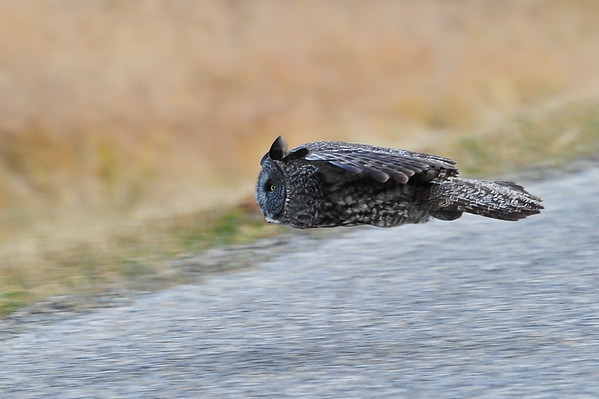 12-27-15 Great Gray Owl - In flight
