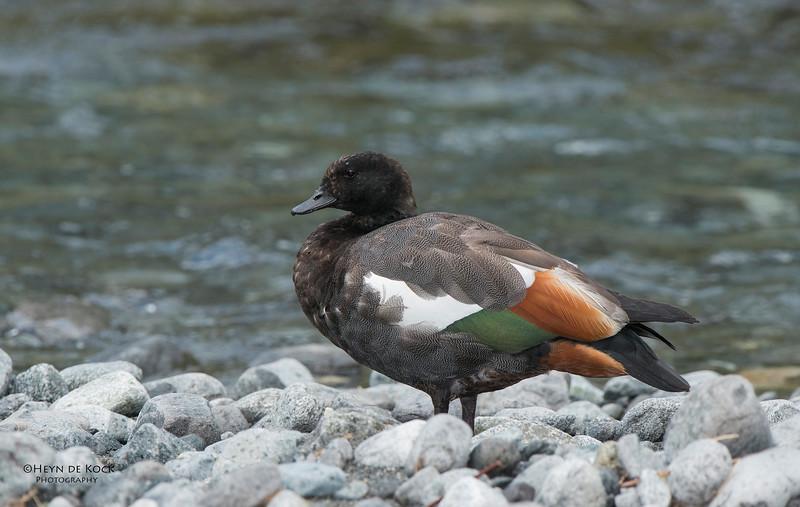 Paradise Shelduck, Monkey Creek, Fiordland NP, SI, NZ, Jan 2013.jpg