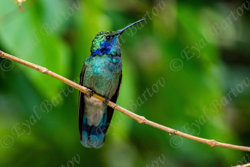 Lesser violetear (Colibri cyanotus) EYL09529.jpg