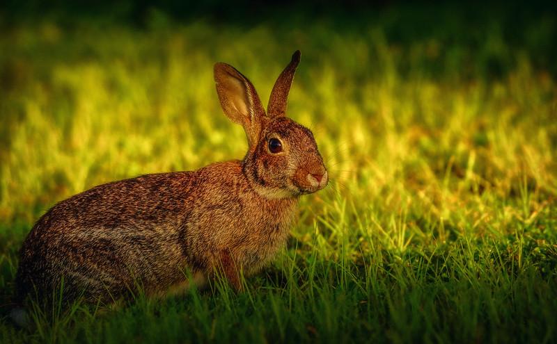 Florida Marsh Rabbit - 12.jpg