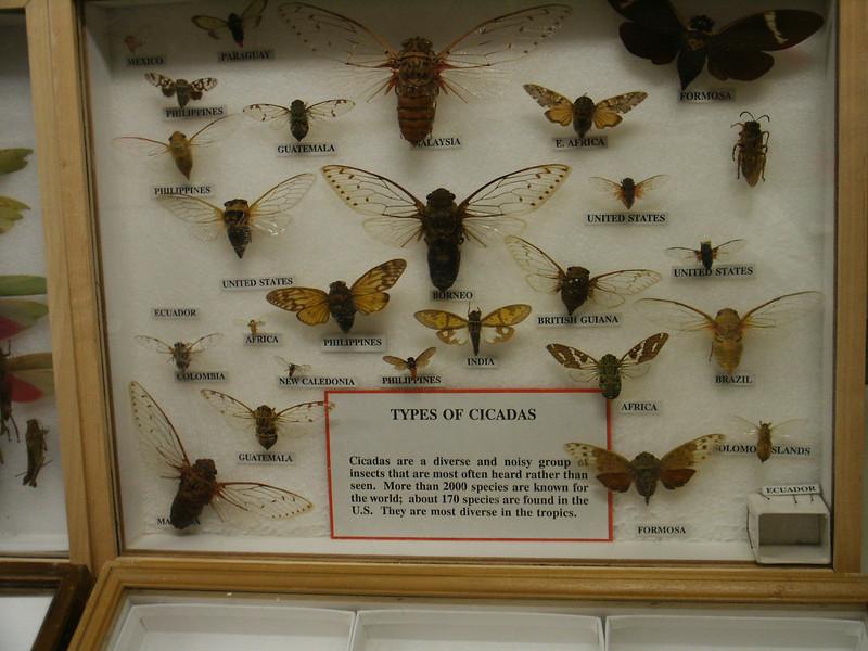 Types of Cicadas