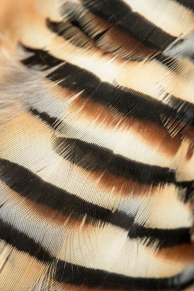 Chukar feathers