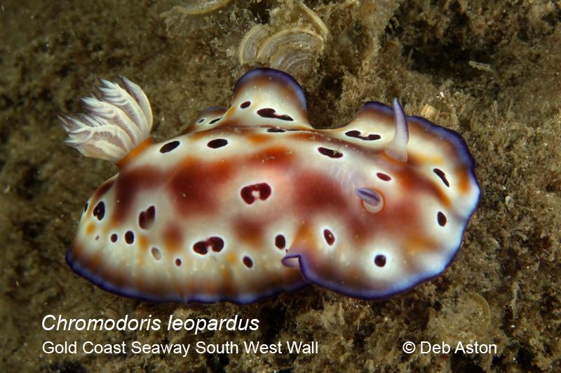 Nudibranchia Chromodoris leopardus