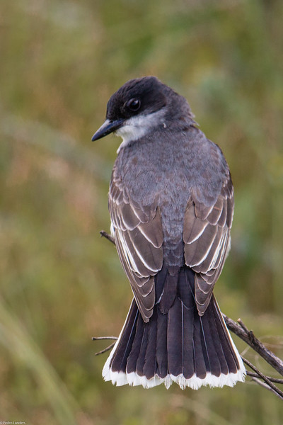 Eastern Kingbird 3.jpg