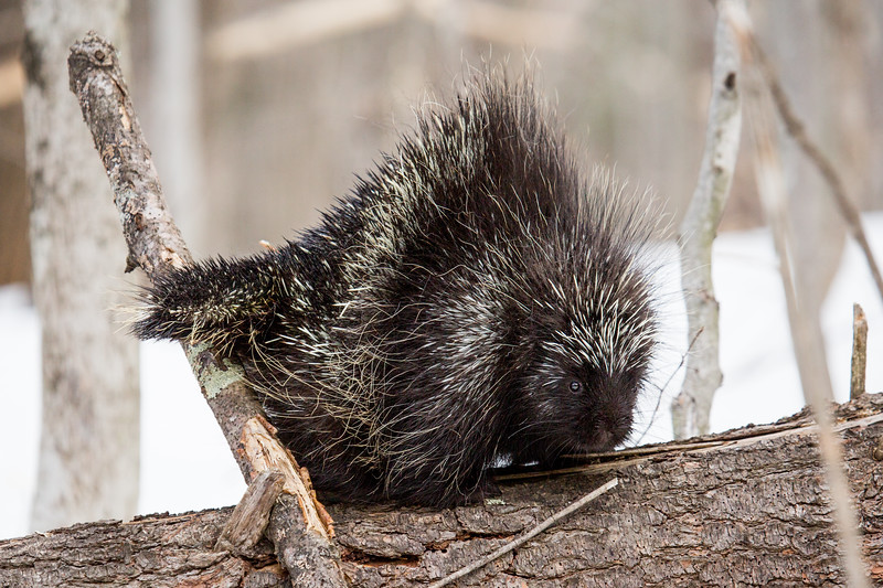 North American porcupine (Erethizon dorsatum), in defensive posture with erect quills. Vermont, USA. (Habituated rescued individual returned to the wild)