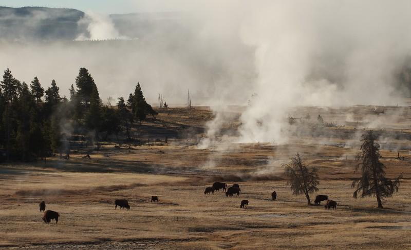 Lower Geyser Basin and Bison Yellowstone N.P. WY IMG_0069388.jpg