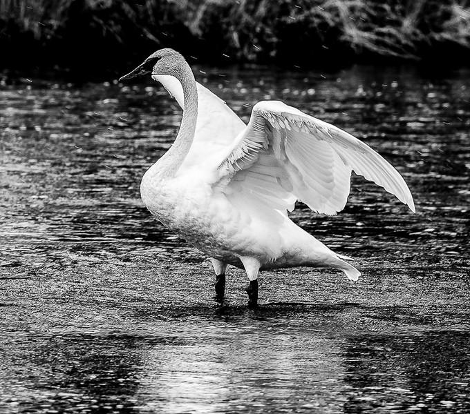Trumpeter Swan_John Hoffman.jpg