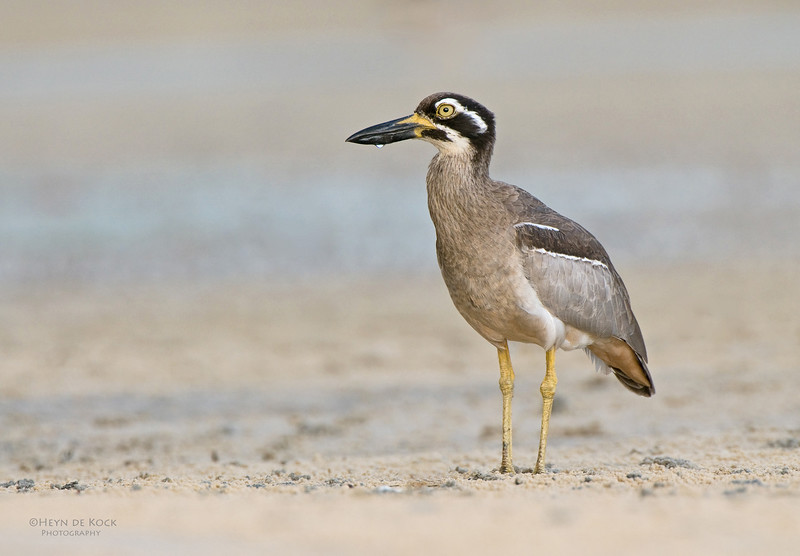Beach Stone-curlew, Inskip Point, Qld, Aus, May 2011-3.jpg