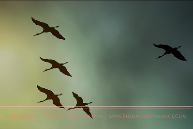 Sandhill Crane Flight in Dawn Light