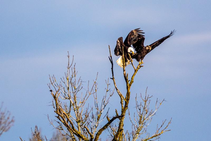 Bald Eagle Tree Dispute -0169.jpg