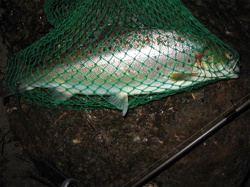 Havørred 43,5 cm, 1,117 kg. Juni 2012.