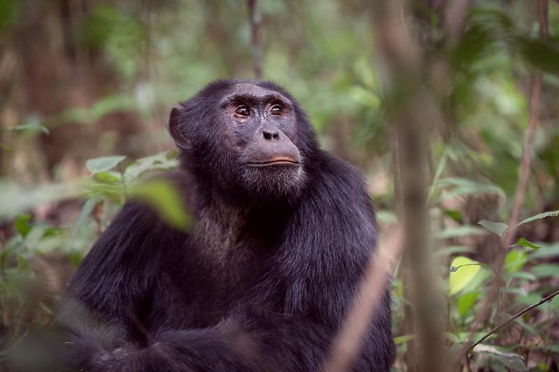 Uganda_T_Chimps-571.jpg
