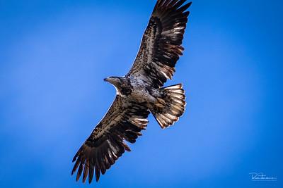 2nd Adolescent Bald eagle
