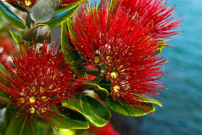 The crimson bloom of a New Zealand Christmas tree or Pohutakawa. Auckland waterfront New Zealand