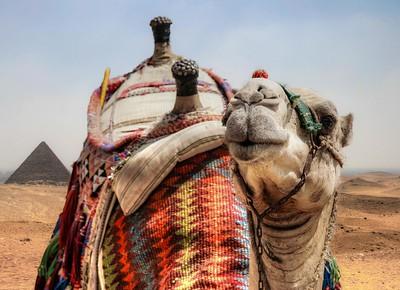 Camel, Eqypt, 2008