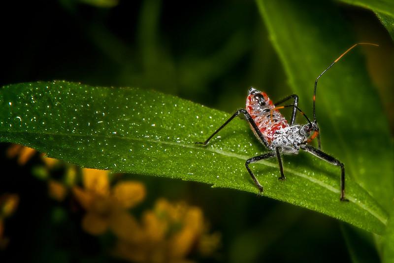 Assassin Bug.jpg