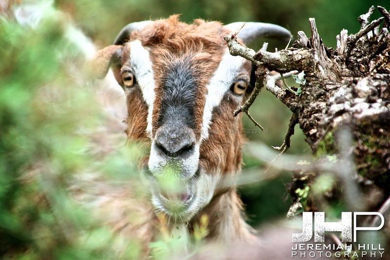 """Mountain Goat #2"", Dharamsala, Himichal Pradesh, 2007 Print IND3913-124"
