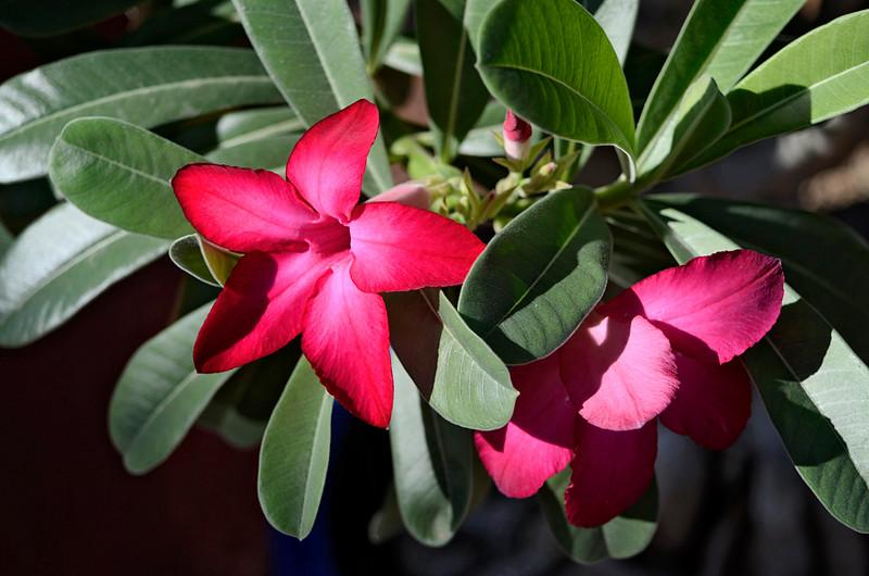 Oleander Flowers