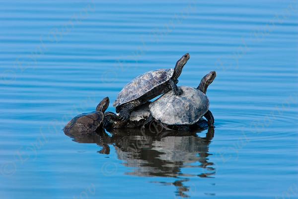 Turtle - צבים